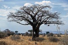 Árvore do Baobab, Tarangire NP, Tanzânia fotografia de stock