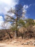 Árvore do Baobab, Wadi Hanna, Omã Fotos de Stock