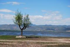 Árvore do beira-rio Foto de Stock Royalty Free