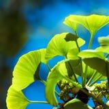 Árvore do biloba da nogueira-do-Japão Fotos de Stock Royalty Free