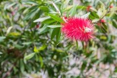 Árvore do Bottlebrush, Callistemon fotografia de stock royalty free