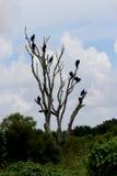 A árvore do busardo Fotografia de Stock