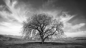 Árvore do Bw no outono Imagem de Stock