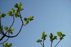 Árvore do céu e de figo fotos de stock