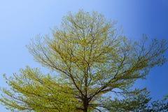 Árvore do catappa de Terminalia imagens de stock royalty free