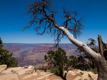 Árvore do cedro no Grand Canyon foto de stock