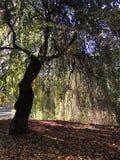 Árvore do cenário da queda Fotografia de Stock