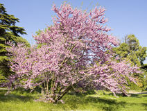 Árvore do Cercis, Bulgária Fotos de Stock Royalty Free