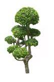 Árvore do chá de Fukien Foto de Stock