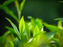 Árvore do chá para o BD Imagens de Stock