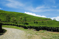 Árvore do chá verde com fundo do céu azul Fotos de Stock Royalty Free