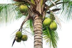 Árvore do coco Imagem de Stock Royalty Free
