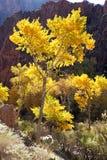 Árvore do Cottonwood fotos de stock royalty free
