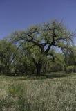 Árvore do Cottonwood no campo imagens de stock royalty free