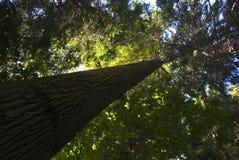Árvore do crescimento velho Fotos de Stock Royalty Free