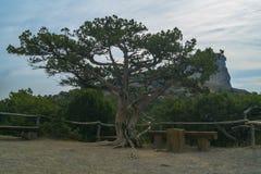 Árvore do desejo no bosque do zimbro Imagens de Stock Royalty Free