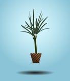 Árvore do Dracaena com folhas verdes imagem de stock royalty free