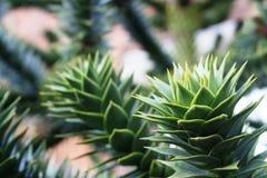 Árvore do enigma de macaco Fotografia de Stock Royalty Free