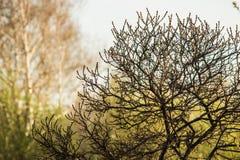Árvore do espinheiro cerval Imagens de Stock Royalty Free