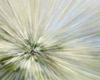 Árvore do espinho - fundo zumbindo abstrato Foto de Stock
