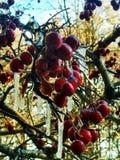 Árvore do espinho no inverno fotos de stock