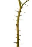 Árvore do espinho, um duro, afiado-aguçado, em linha reta ou proj arborizado curvado foto de stock royalty free