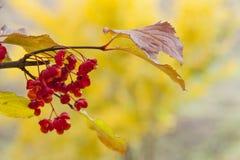 Árvore do Euonymus com fundo amarelo fotografia de stock royalty free