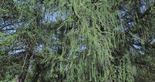 Árvore do europeu do larício video estoque