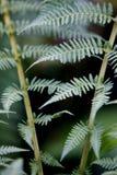 Árvore do Fern Imagens de Stock
