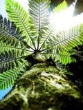 Árvore do Fern no céu Fotos de Stock Royalty Free