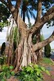 Árvore do Ficus Fotografia de Stock