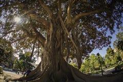 Árvore do ficus em Valencia La Glorieta foto de stock royalty free