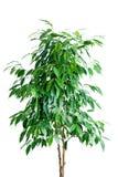 Árvore do Ficus no potenciômetro Imagens de Stock
