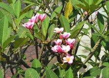 Árvore do Frangipani Fotos de Stock