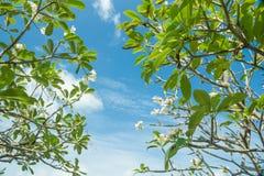 Árvore do Frangipani (Plumeria) Fotografia de Stock