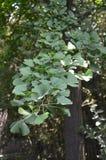 Árvore do Gingko Foto de Stock Royalty Free