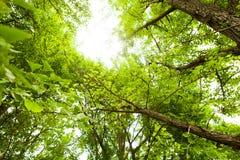 Árvore do Ginkgo Imagem de Stock