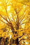 Árvore do Ginkgo imagem de stock royalty free