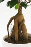 Árvore do ginsém do ficus com raiz Imagens de Stock Royalty Free