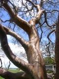 Árvore do Gumbo-Limbo imagem de stock