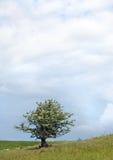 Árvore do Hawthorn na mola fotos de stock royalty free