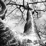 Árvore do Honduran imagens de stock