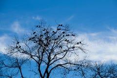 Árvore do inverno com lotes dos pássaros contra o céu azul Fotografia de Stock