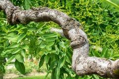 Árvore do japonica do Sophora Folhas da árvore Um ramo grosso do Sophora acacia Fundo borrado Fotos de Stock Royalty Free