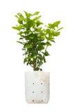 Árvore do jasmim para a planta isolada no branco Fotos de Stock Royalty Free