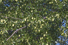 Árvore do jujuba com frutos Imagens de Stock