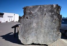 Árvore do Kauri Reserva geotérmica de Whakarewarewa Em algum lugar em Nova Zelândia imagens de stock