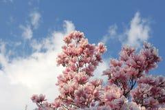 Árvore do Magnolia Imagens de Stock Royalty Free