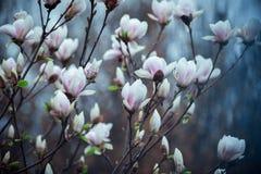 Árvore do Magnolia na flor Foto de Stock Royalty Free
