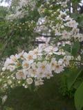 Árvore do mayday Foto de Stock Royalty Free
